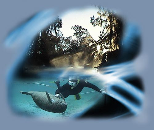 Swim with a Manatee, Crystal River Manatees, Homosassa Manatee Tours, Manatees Crystal River, swimming with Manatees, diving snorkeling with a Manatee, Florida Manatee Tours, Manatee tours Crystal River
